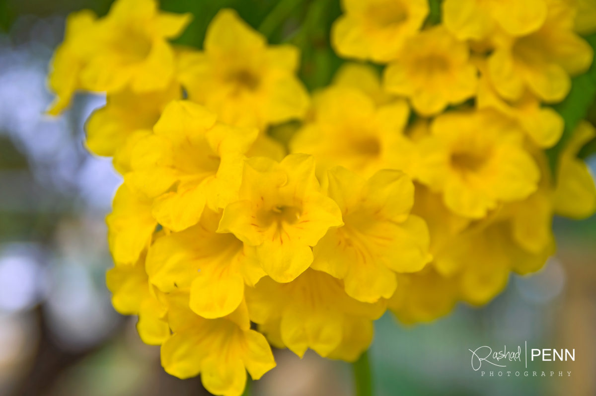 The Yellow Elder Flower  – National Flower of the Bahamas