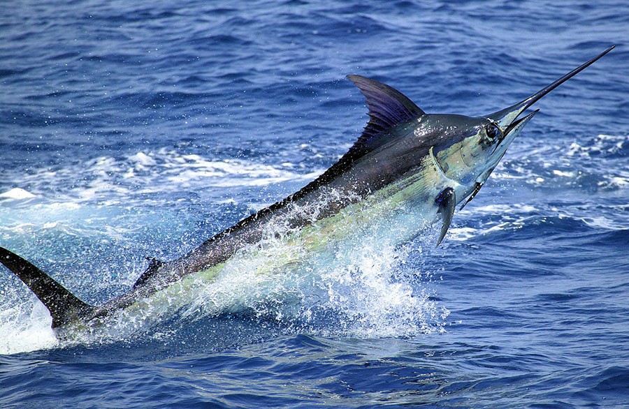The Atlantic Blue Marlin – The National Fish of the Bahamas